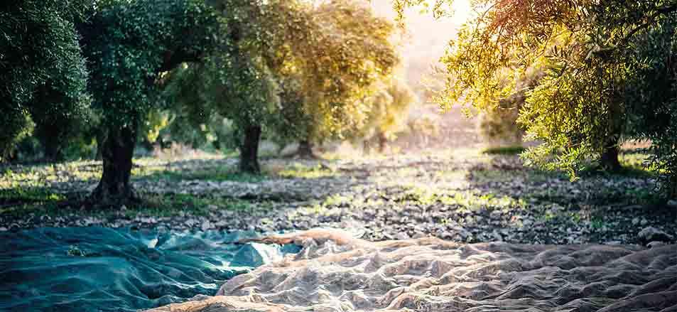 10 Dinge die Sie über Olivenöl wissen sollten