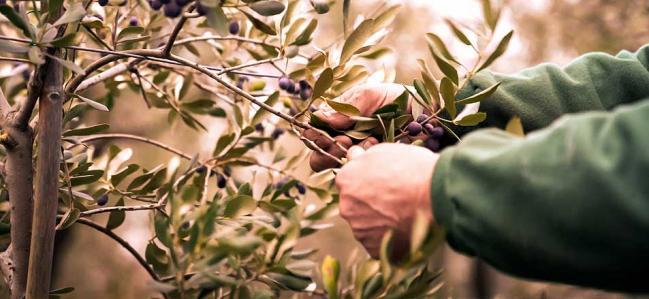 Olivenöl mit Qualität: Wie wird es hergestellt?