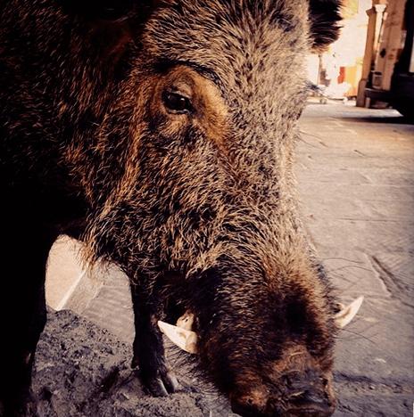 Toskanisches Wildschwein