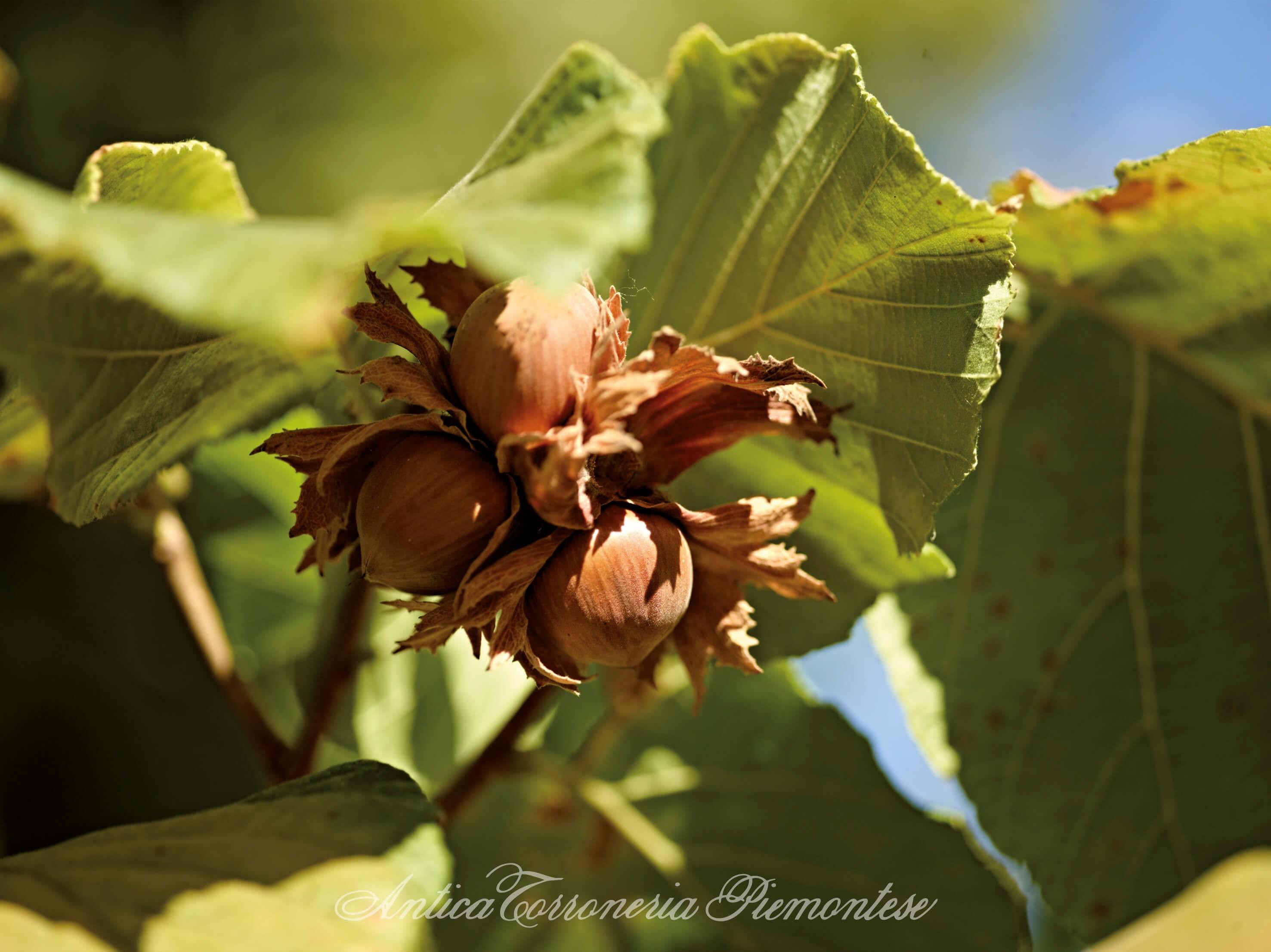 Piemontesische Haselnüsse am Haselnussbaum