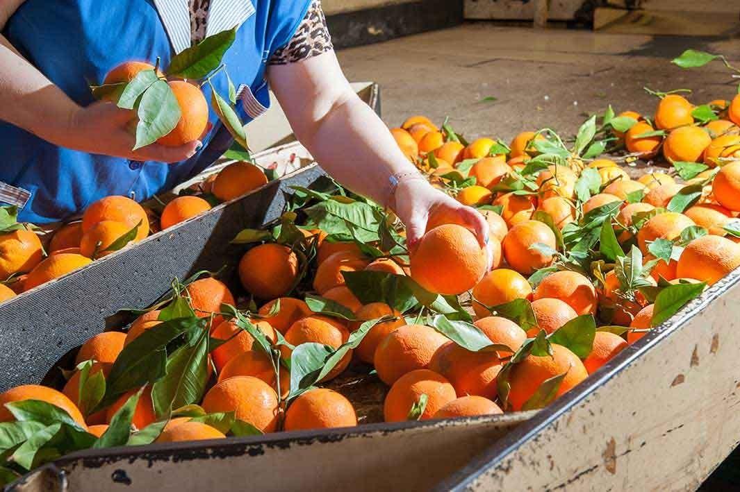 Sizilianische Orangen bei Bon Sicilia