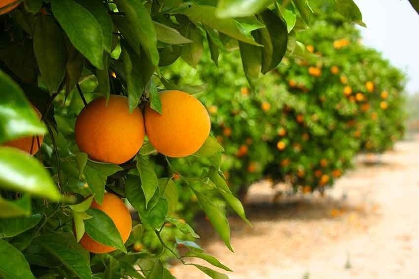 Orangen am Baum bei Bon Scilia