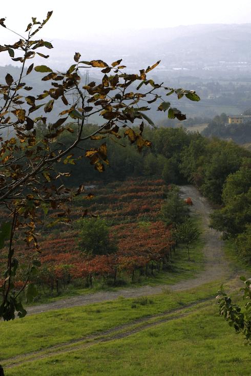 Weinlese der Trebbianotraube im Herbst