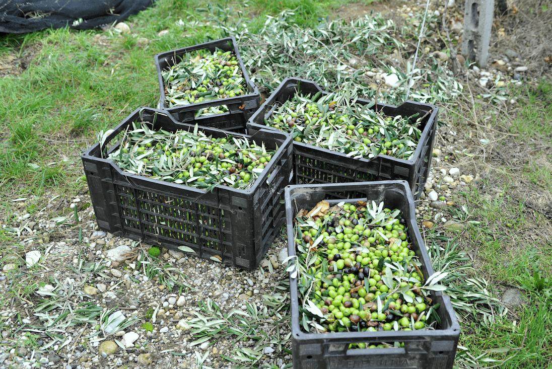 Olivenernte am Gardasee